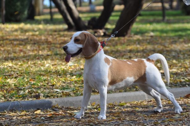 beagle-1091670_1920.jpg
